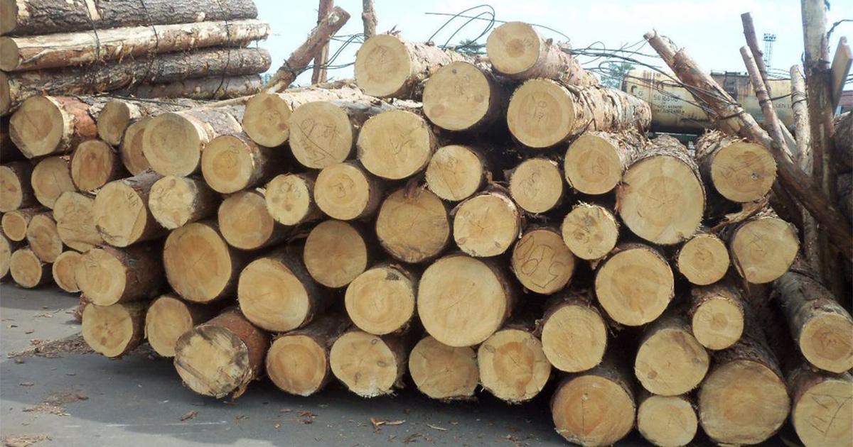 kayu sengon laut